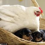 hen-on-puppies