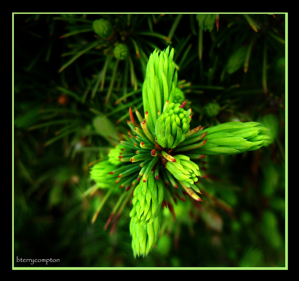 New Growth On A Pine Tree