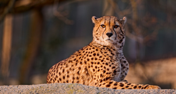 Cheetah lying on the rock